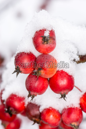 ripe, apples, covered, with, snow - 15788472