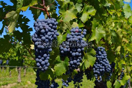 wine, grape, red, -, grape, red - 15788430