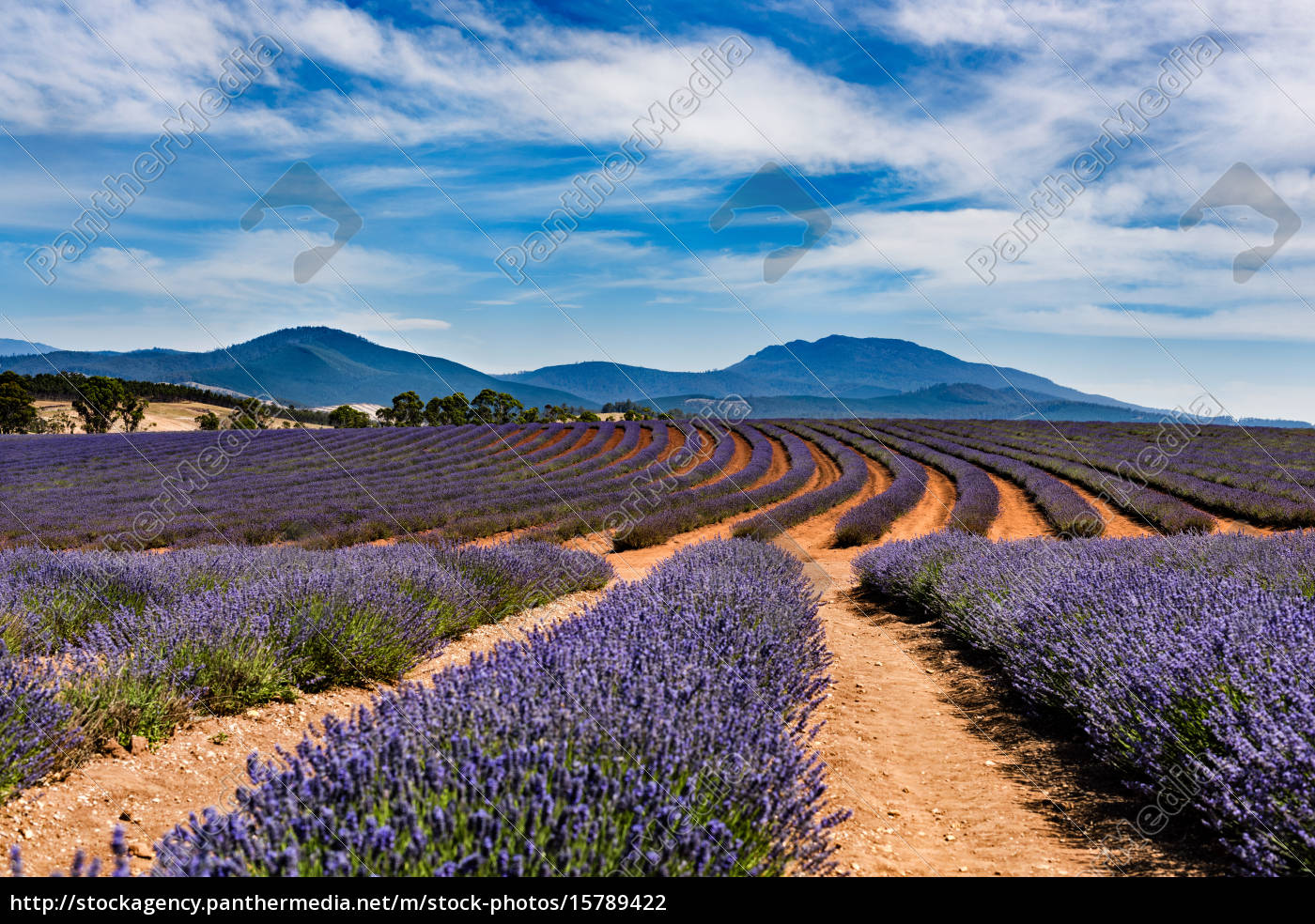 lavender, field - 15789422