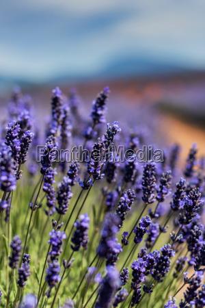 lavender, field - 15789424