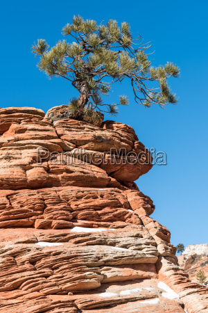 twisted, pine, tree, at, zion, national - 15789366