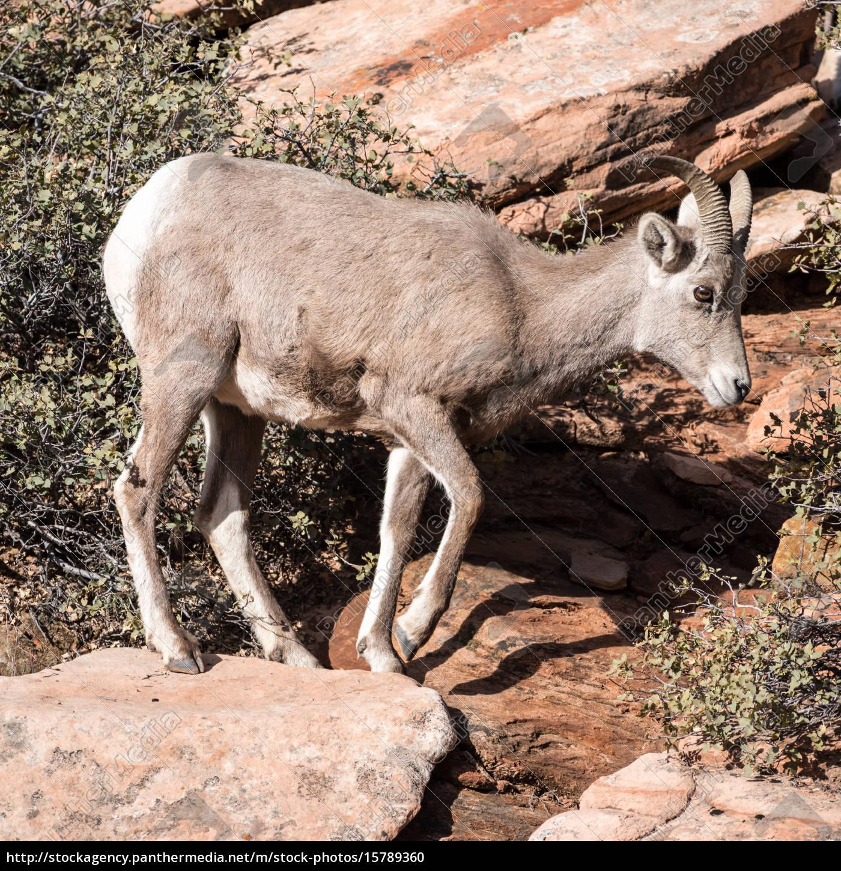 young, bighorn, sheep - 15789360