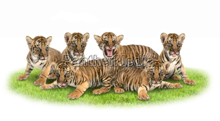 baby, bengal, tiger - 15791621