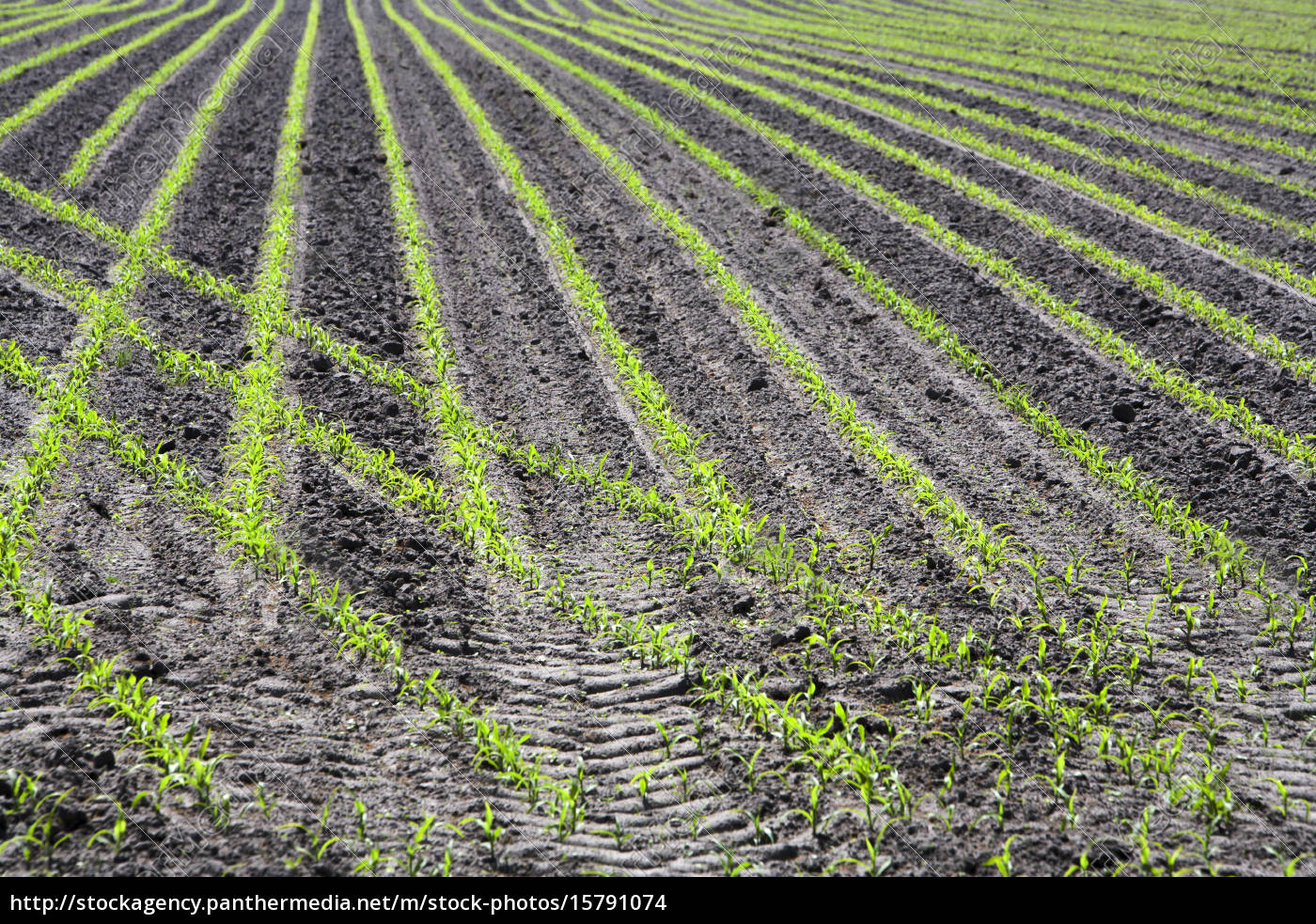just, planted, corn, field - 15791074
