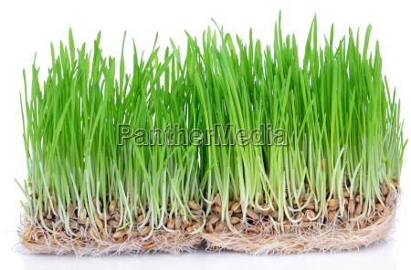 fresh, green, grass, sprouted, grains, with - 15792551
