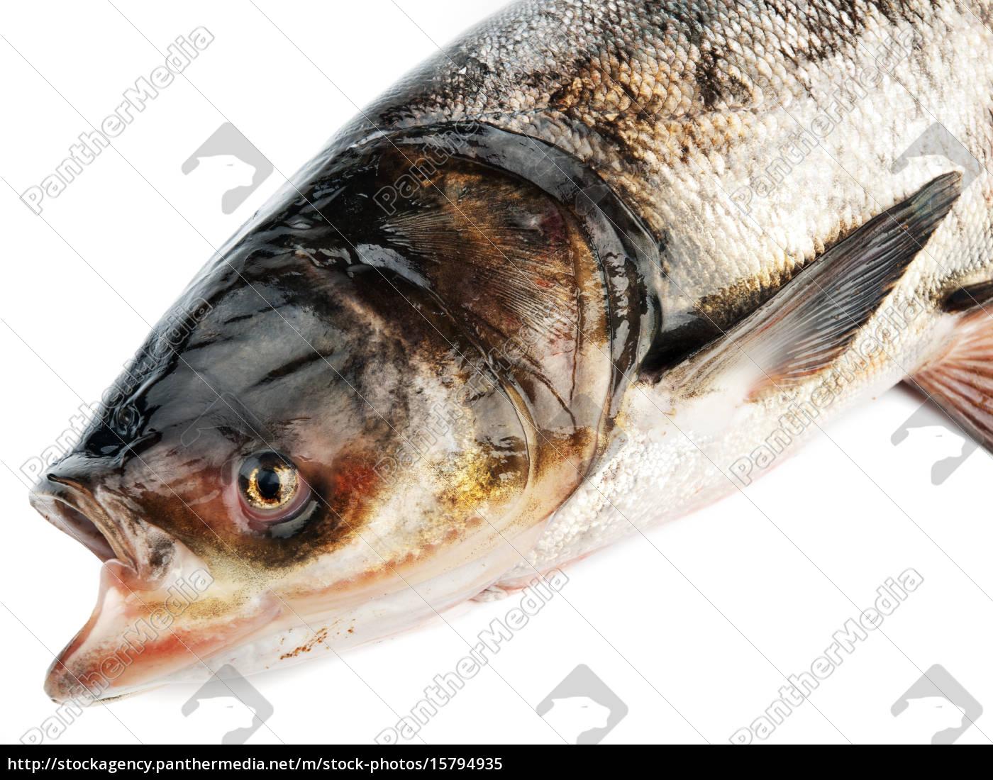 bighead, carp, bighead, carp, bighead, carp, bighead, carp - 15794935