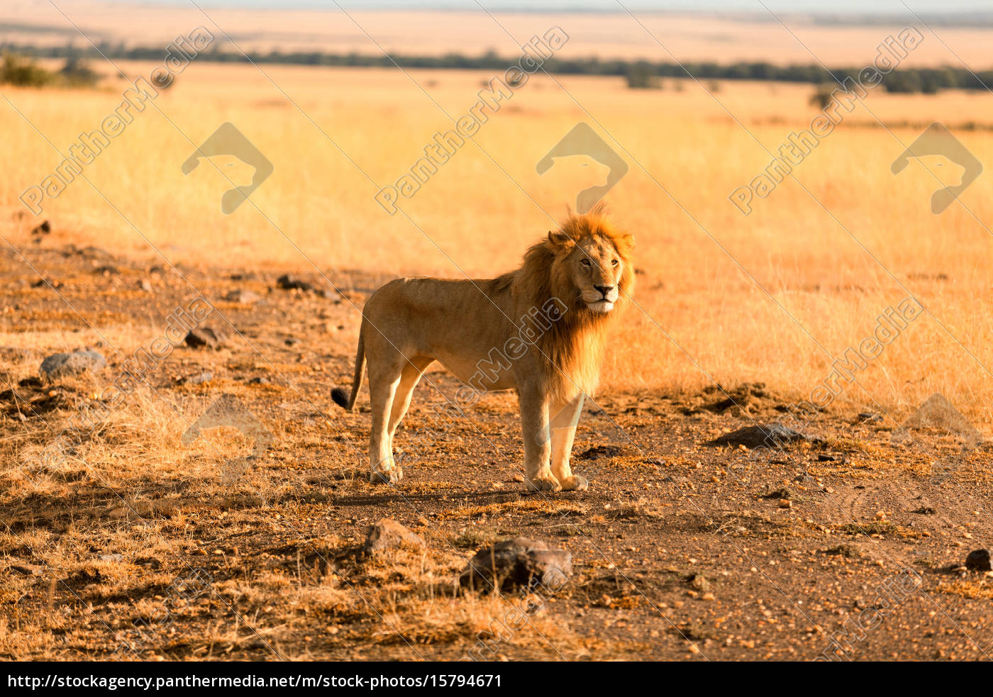 male, lion, in, masai, mara, male, lion - 15794671