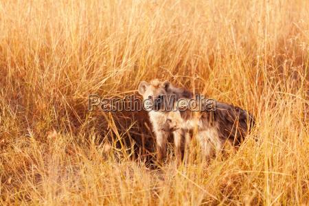 baby, hyenas, , masai, mara - 15795249