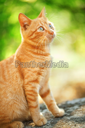 domestic, cat, outdoors, domestic, cat, outdoors, domestic, cat - 15795665