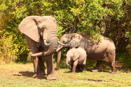 elephants, in, masai, mara - 15795875