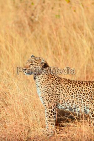 female, leopard, in, masai, mara, female, leopard - 15795717