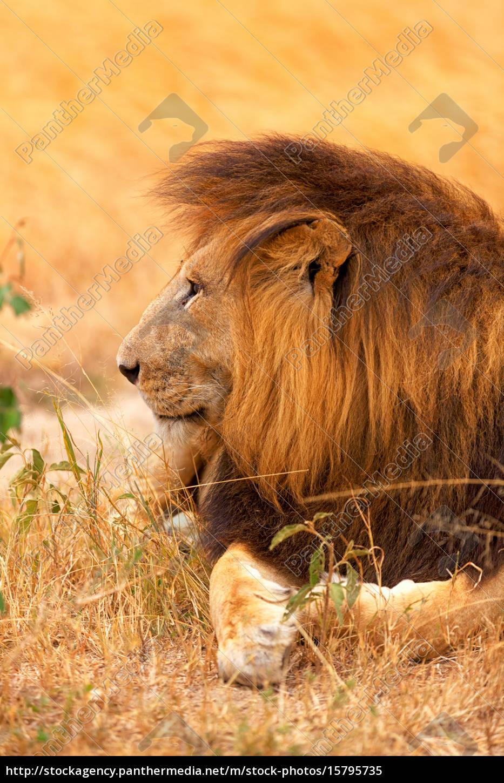 male, lion, in, masai, mara, male, lion - 15795735