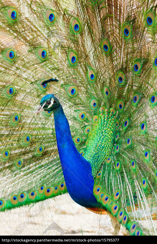 peacock, peacock, peacock, peacock - 15795377