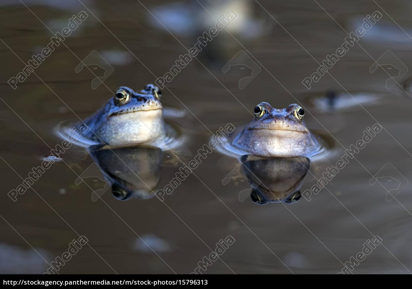 moor, frogs, in, the, wild, - 15796313