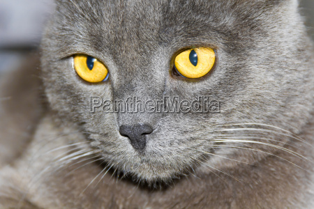 cat, portrait, with, yellow, eyes - 15798617
