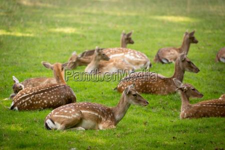 herd, of, fallow, deers, (lat., dama - 15798229