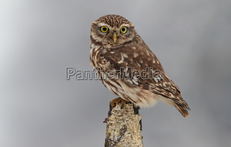 little owl in winter