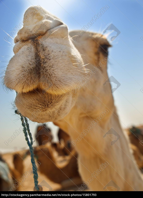 camel, close, up - 15801793