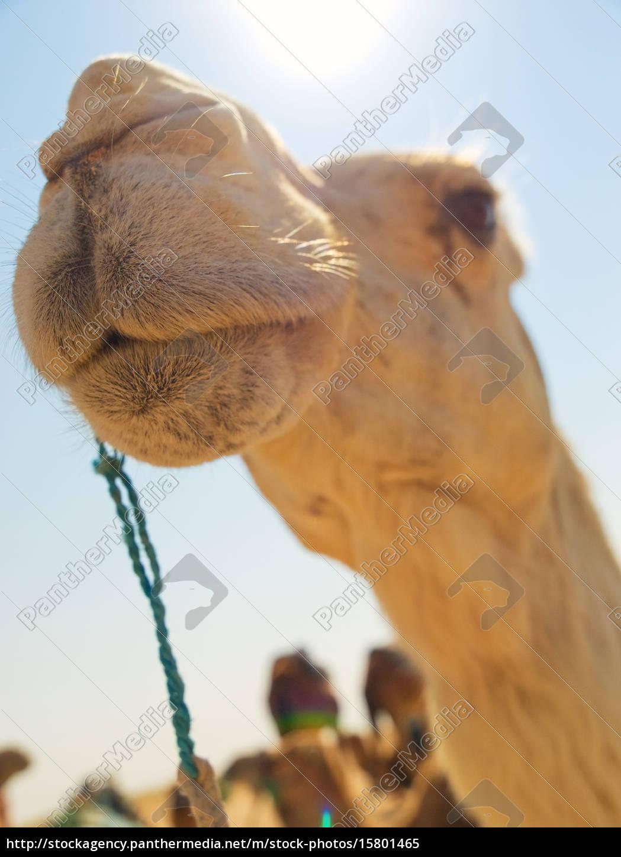 camel, in, the, desert, camel, in, the - 15801465