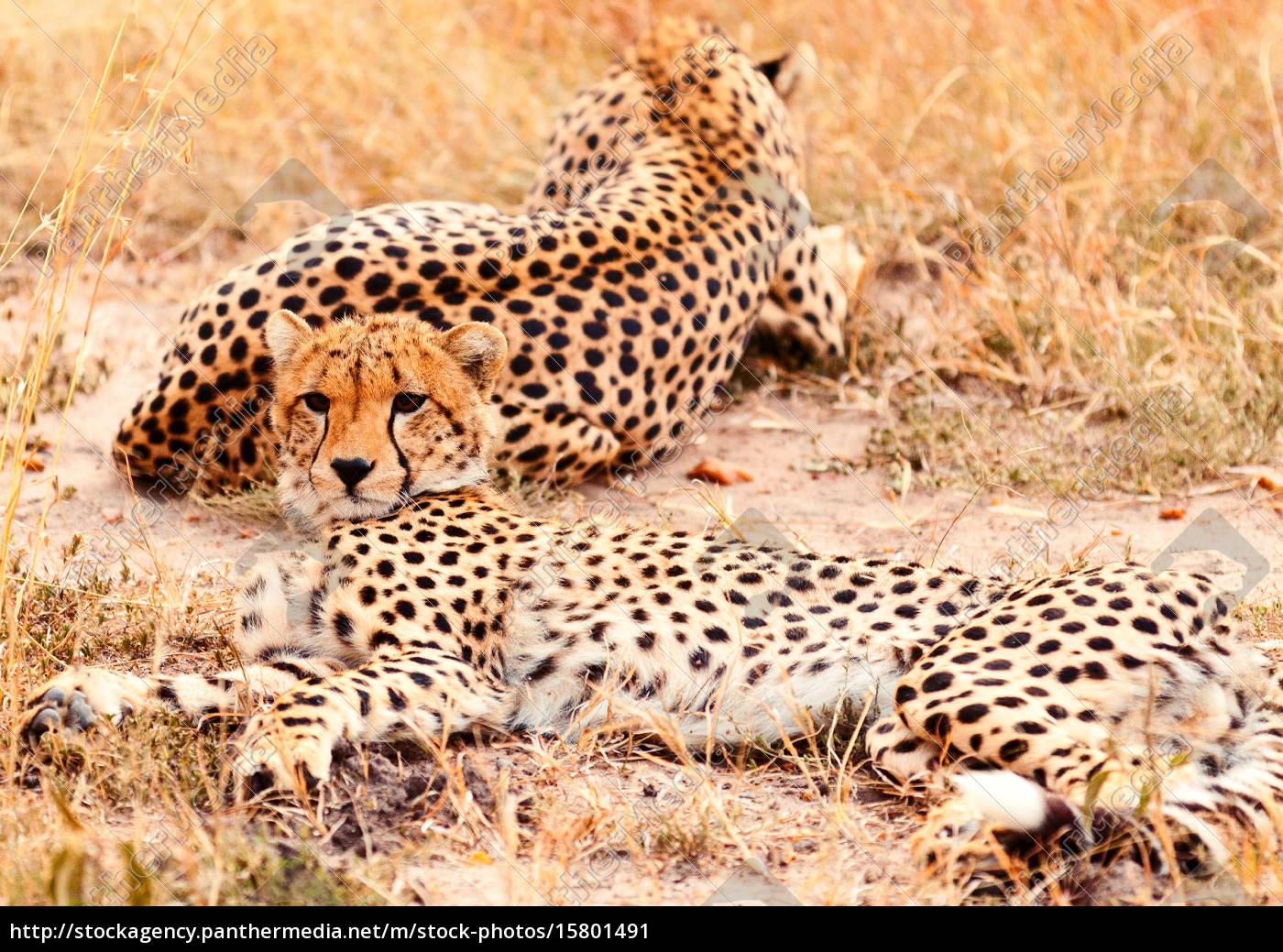 cheetahs, in, masai, mara, cheetahs, in, masai - 15801491