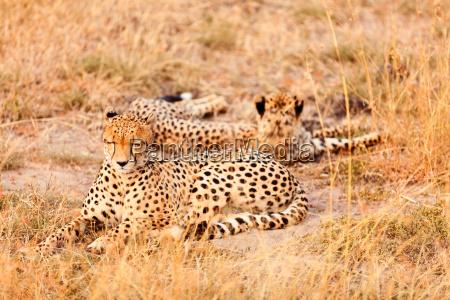 cheetahs, in, masai, mara, cheetahs, in, masai - 15801585
