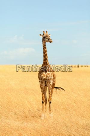 giraffe, in, masai, mara, giraffe, in, masai - 15801577