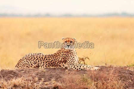 male, cheetah, in, masai, mara, male, cheetah - 15801489