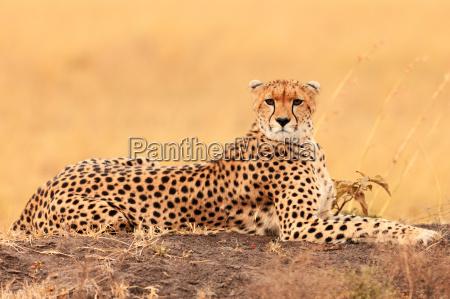 male, cheetah, in, masai, mara, male, cheetah - 15801581