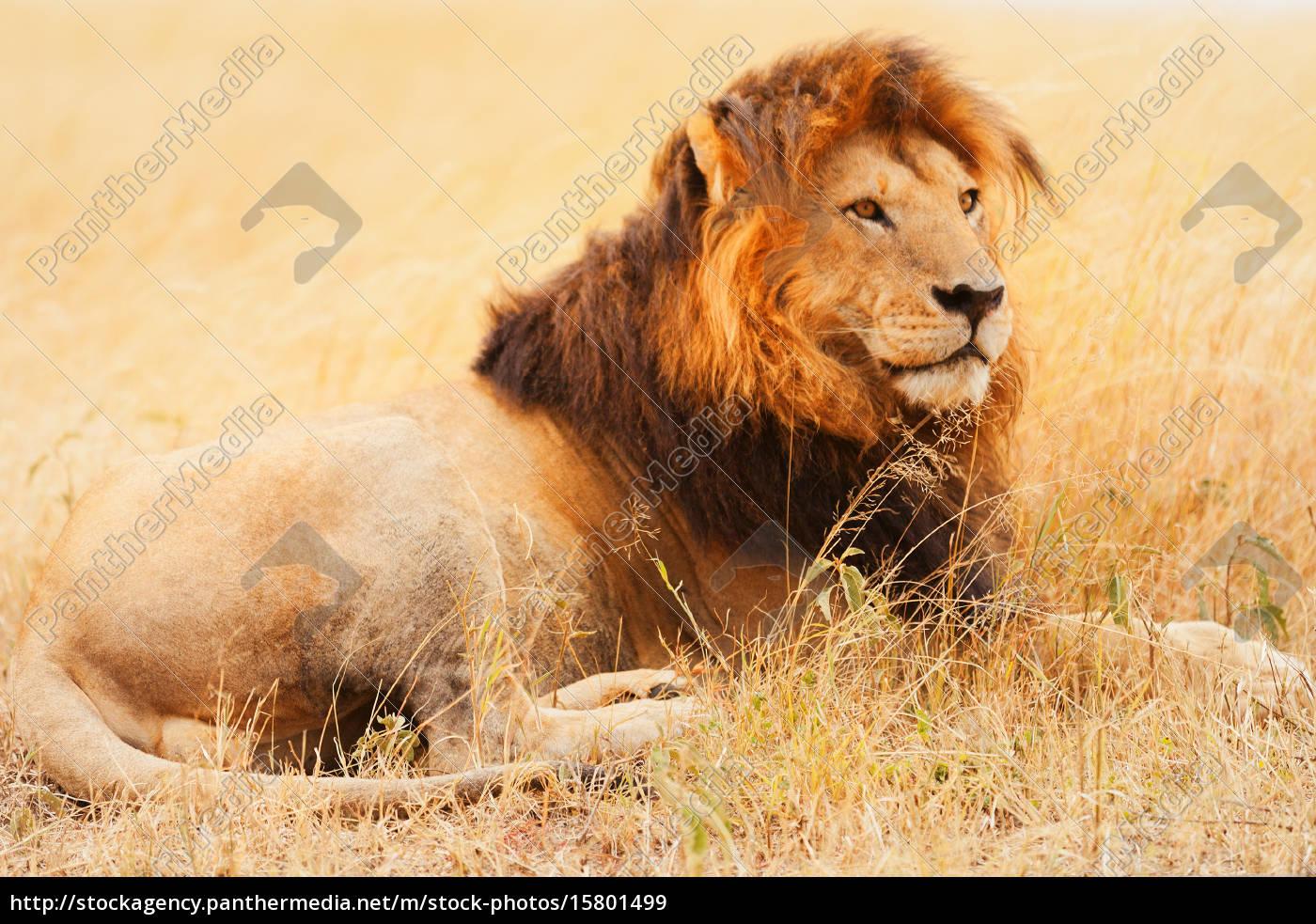 male, lion, in, masai, mara, male, lion - 15801499