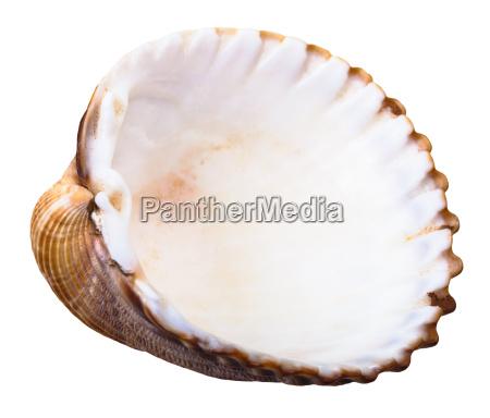 empty shell of sea clam mollusc
