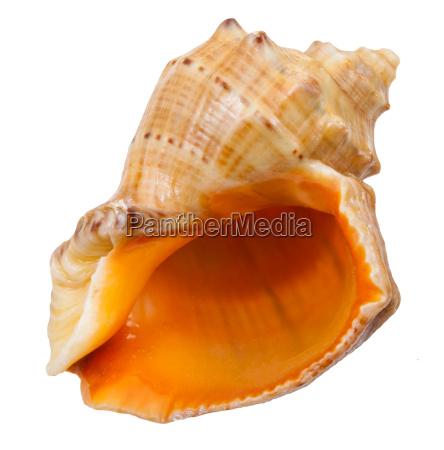 empty spiral shell of big sea