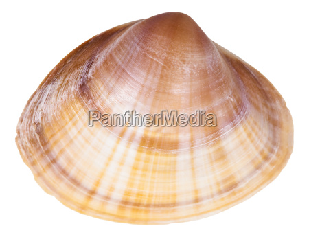 shell of clam mollusc close up