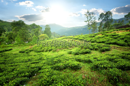 tea fields in mountains