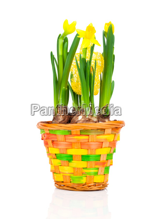 beautiful spring narcissus flowers in a