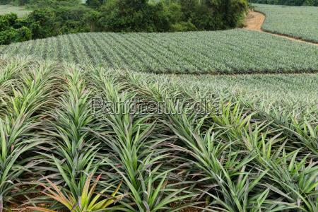 pineapple in a garden farms