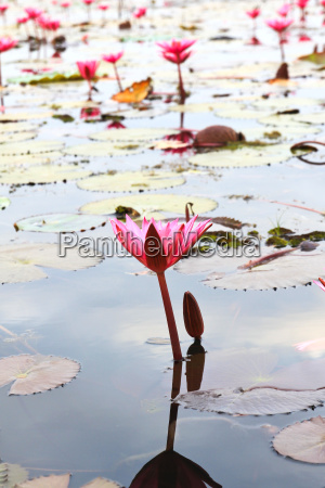 the lake of water lily udonthani