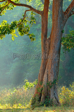 tree in indian forest