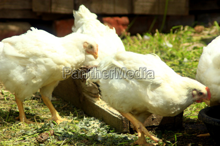 hens eat on the poultry farm