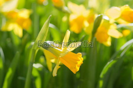 narcissus spring yellow flowers on sunshine
