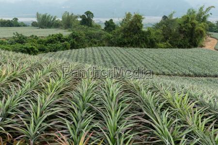 pineapple farm in taiwan