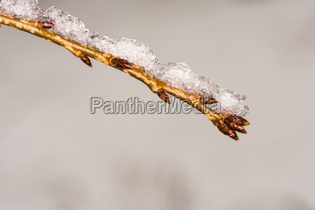 twig with buds covered with snow