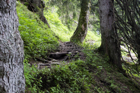 large roots in the forest