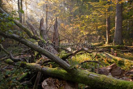 old oak tree broken and sunbeams