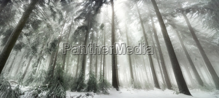 winter forest in magic light mood