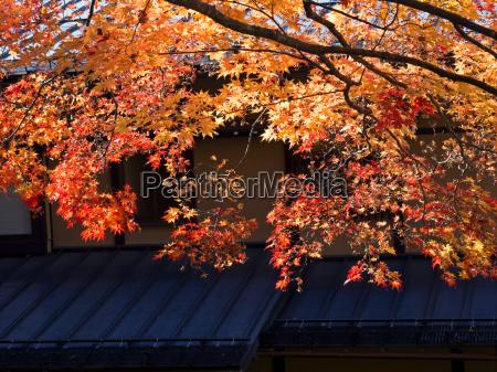 backlit golden autumn foliage