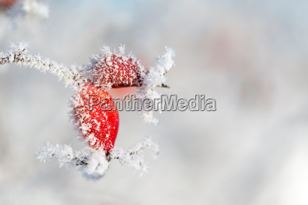 red rose hip with ice crystals
