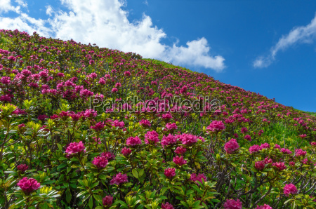 blooming alpine on a slope in