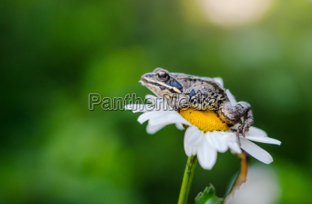 frog sits on a daisy