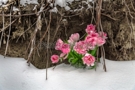 fresh flowers in the snow on