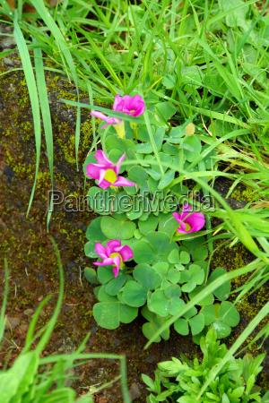 purple sorrel purple sorrel oxalis purpurea
